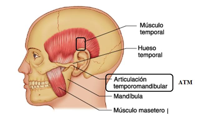 Disfunción Temporomandibular Dtm Síntomas Tratamiento Y Ejercicios Urbanfisio Fisioterapia A Domicilio Y Masajes Terapéuticos