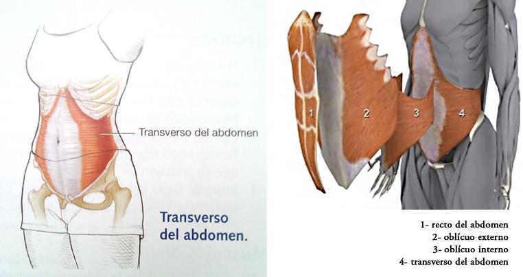 ransversus abdominis.png